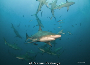 Schooling Blacktip sharks by Rasmus Raahauge 